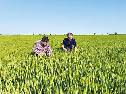 图为市农业农村局分片包镇指导组的工作人员在麦田里查看小麦条锈病发病情况,并根据农户需要进行技术指导。.jpg