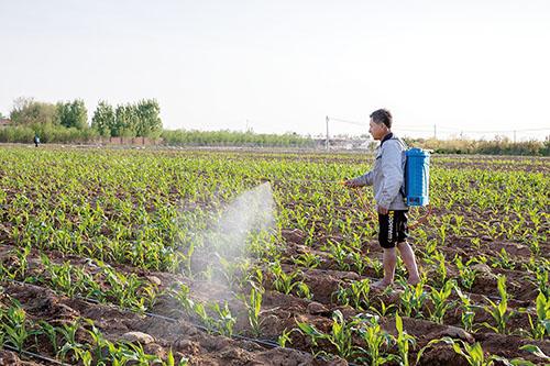 图为农民正在对玉米进行病虫害防治。.jpg