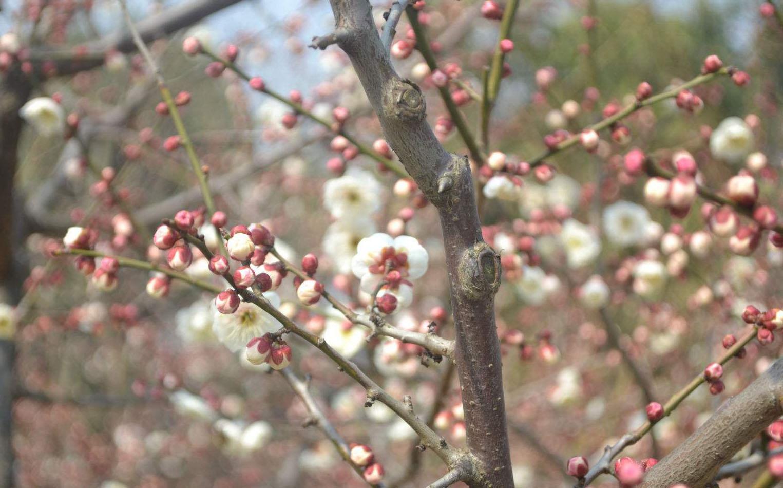 南京1533亩梅花山 步入盛花期 花期持续至3月中旬
